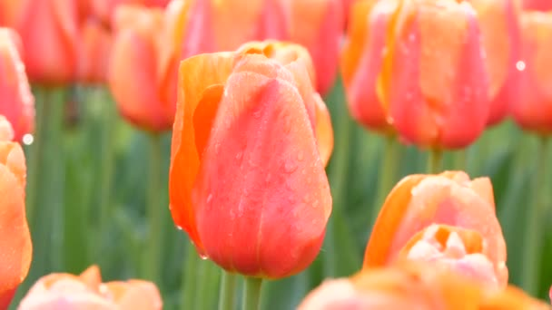 Krásné velké růžové kvetoucí tulipány s kapkami rosy na okvětních lístcích v jarní zahradě