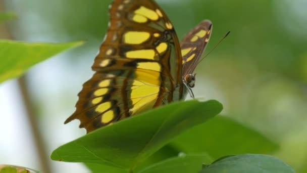 Gyönyörű trópusi pillangó zöld levél