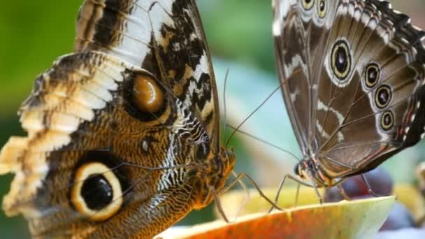 Krásné velké hnědé tropické sova motýl nebo Caligo jíst sladké ovoce jablka zblízka. Tenký motýlí nos sbírá nektar