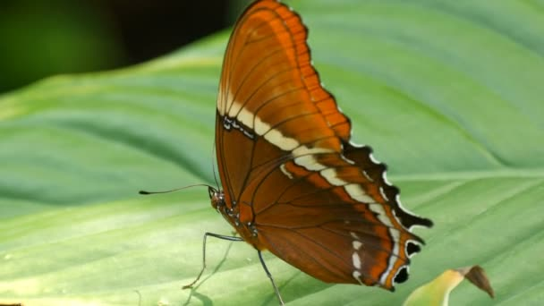 Beautiful tropical butterfly sits on a green leaf on a tree branch against a green background