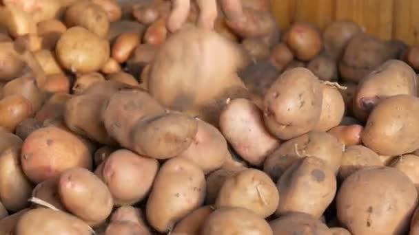 Starke Hände sortieren im Hangar eine gute Auswahl an großen Kartoffeln. Kartoffelernte im Herbst