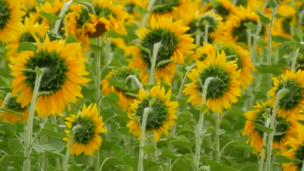 Beautiful red sunset on the field with blooming young sunflowers in summer. Heads rotated in one direction.