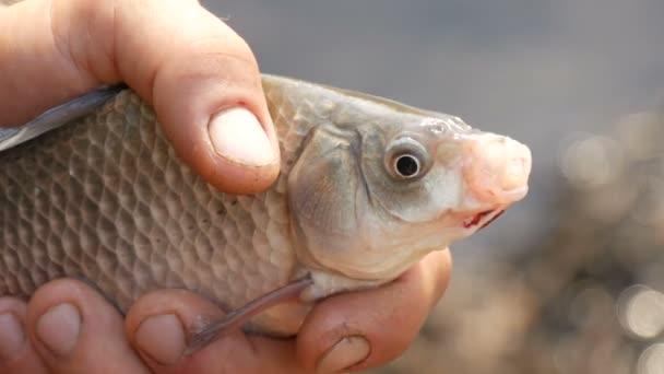 Férfi erős kezében egy halász tartja a kezében a frissen fogott élő lélegző hal a természetben a háttérben egy tó. Nagy hal, ami levegőt vesz. Édesvízi halak