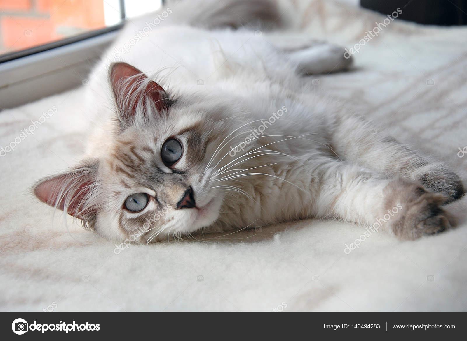 6a263be276c8 Παρόμοιες royalty-free εικόνες  Γάτες Υπέροχη Αφράτη Φωτογραφία Αρχείου