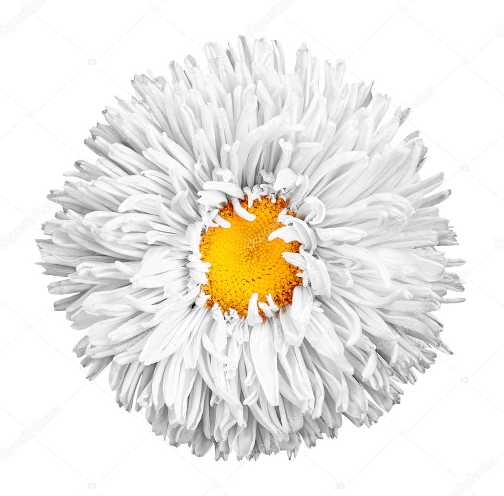 White Aster Flower With Yellow Heart Macro Photography Isolated On