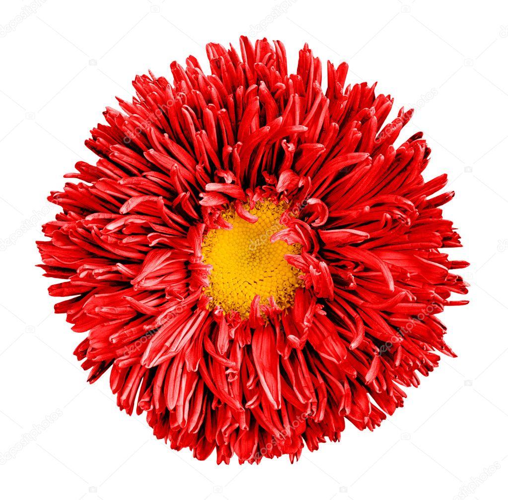 Fleur Aster Rouge Avec Coeur Jaune Macro Photographie Isolee Sur