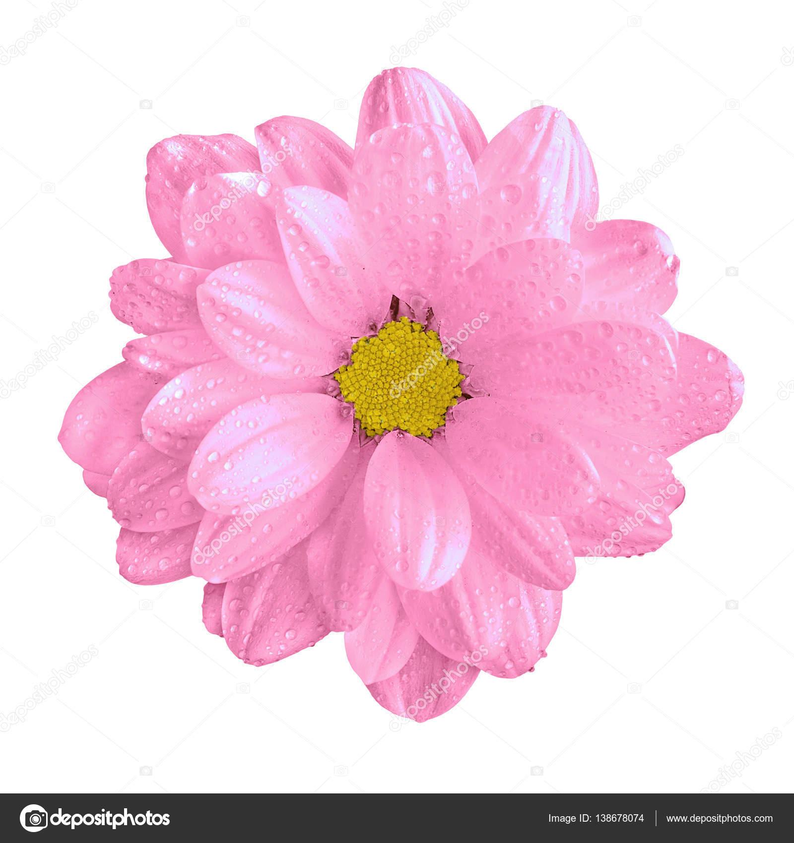 Imagenes Flores Reales En Blanco Y Negro Macro De Flor De Gerbera