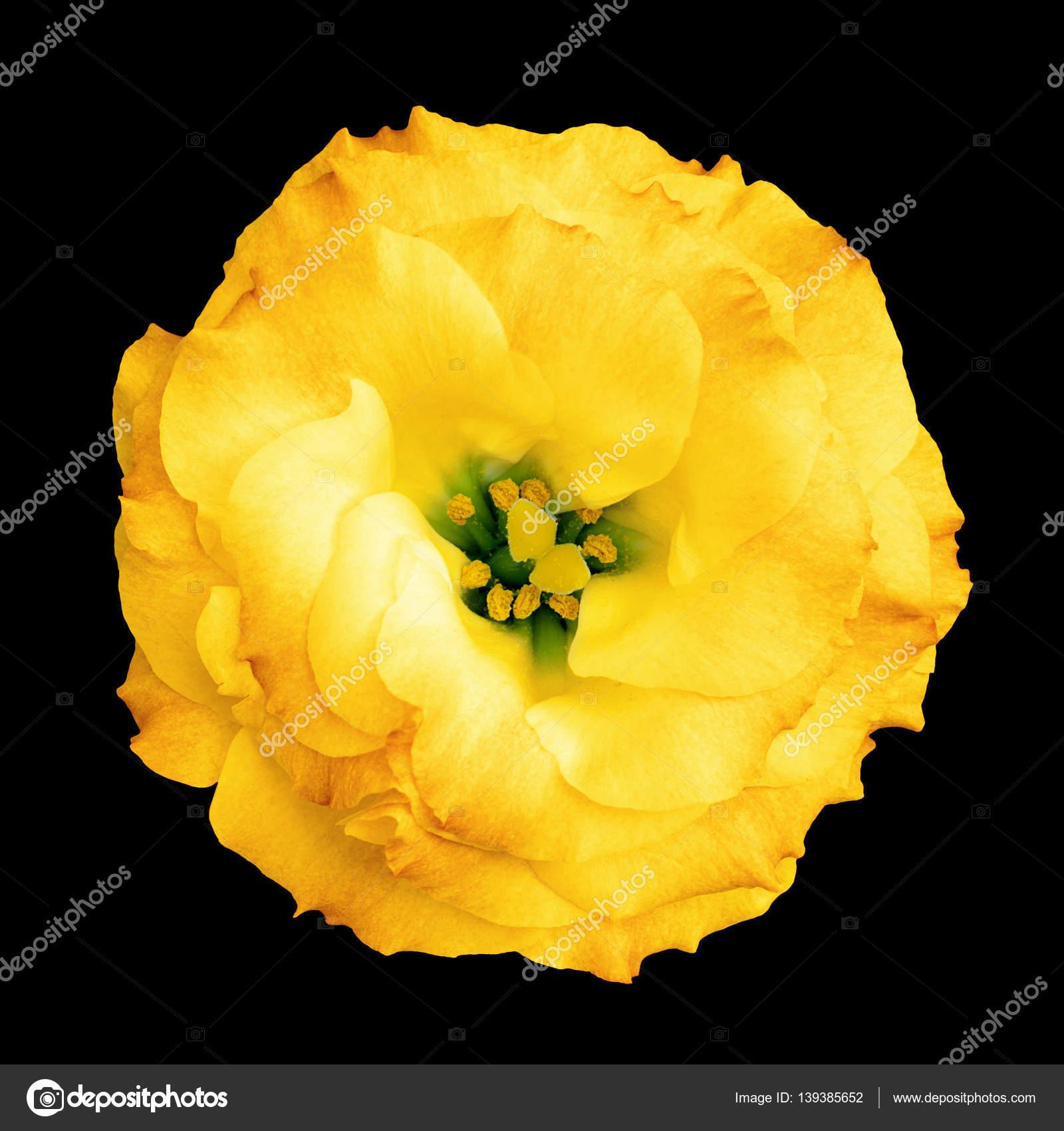 Jaune Naturel Rose Fleur Isole Sur Noir Photographie Boxerx