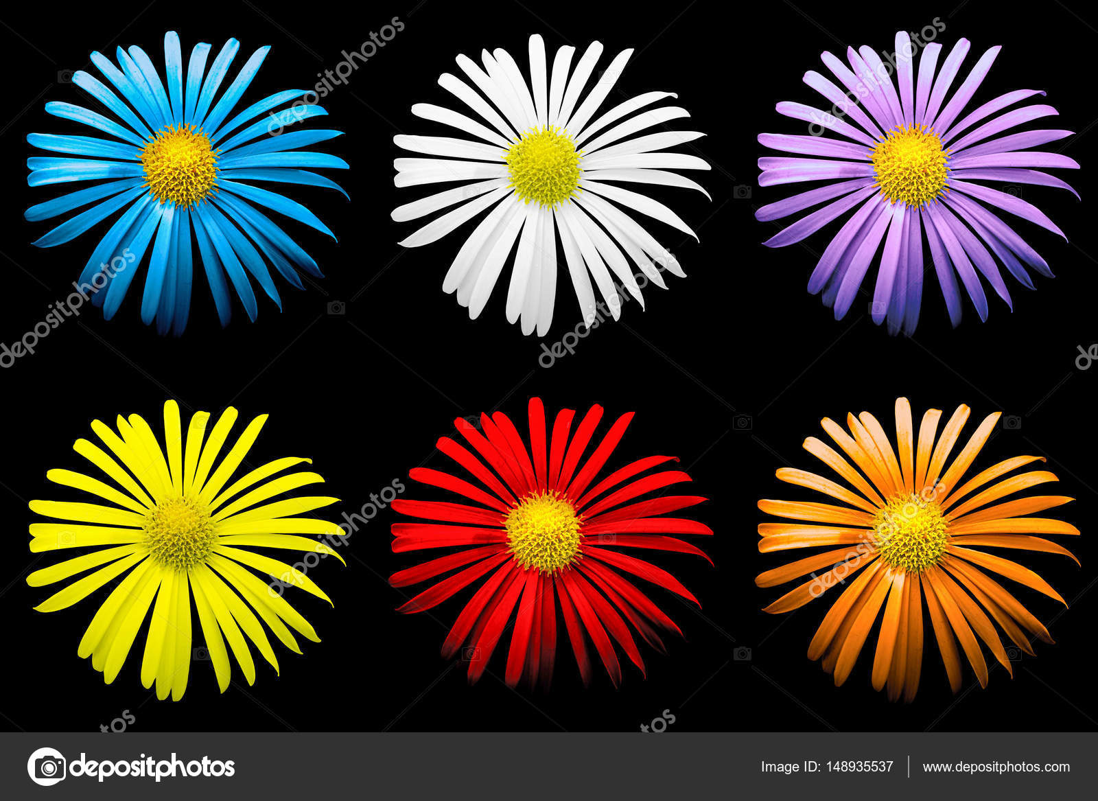 Pack of colored surreal bright chrysanthemum flowers macro isolated ...