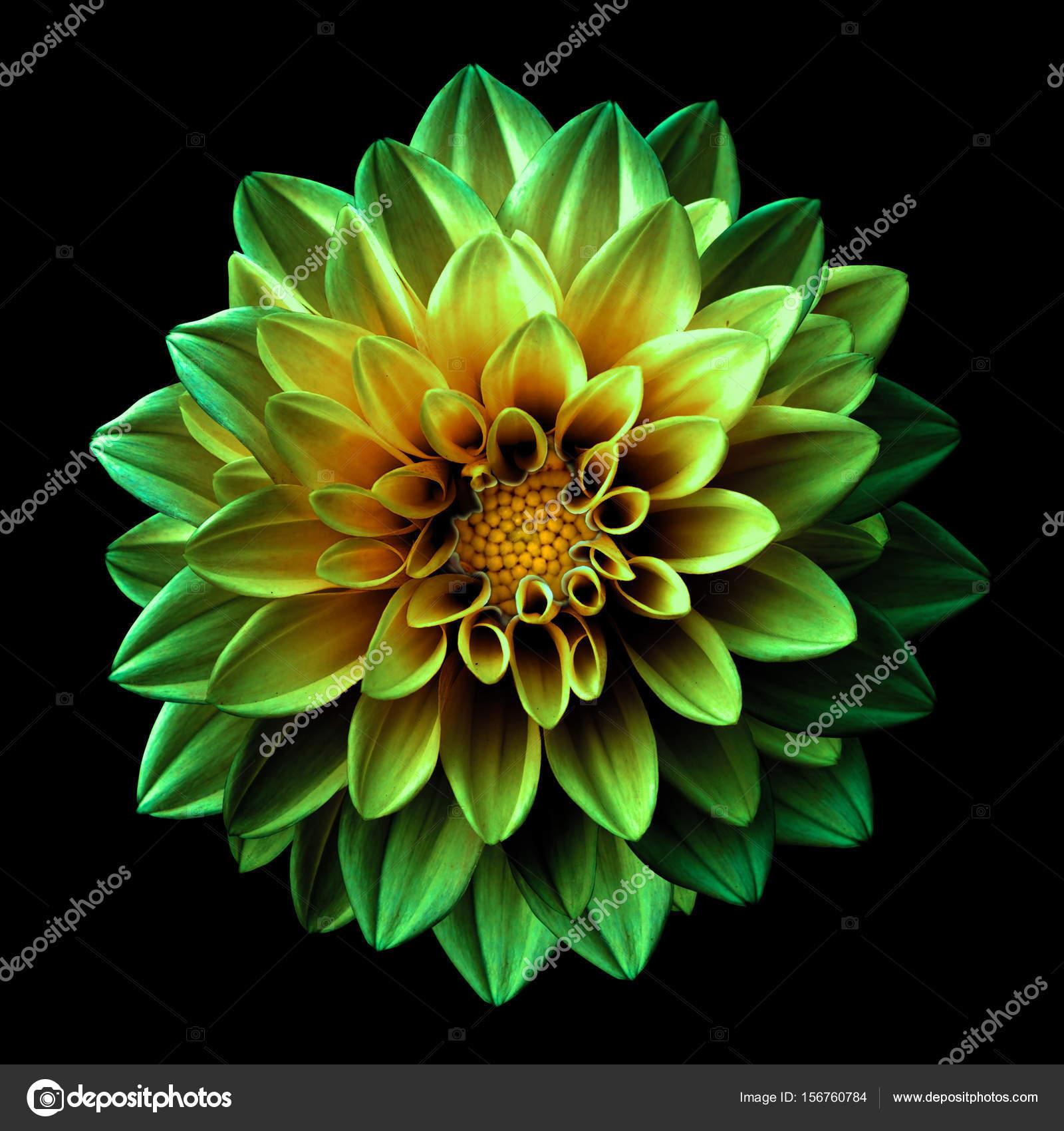 Surreal dark chrome green and yellow flower dahlia macro isolated on surreal dark chrome green and yellow flower dahlia macro isolated on black stock photo izmirmasajfo
