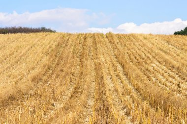 Corn field after harvest in autumn