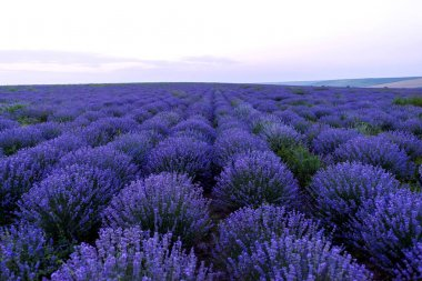 Photo of purple flowers in a lavender field at sunset