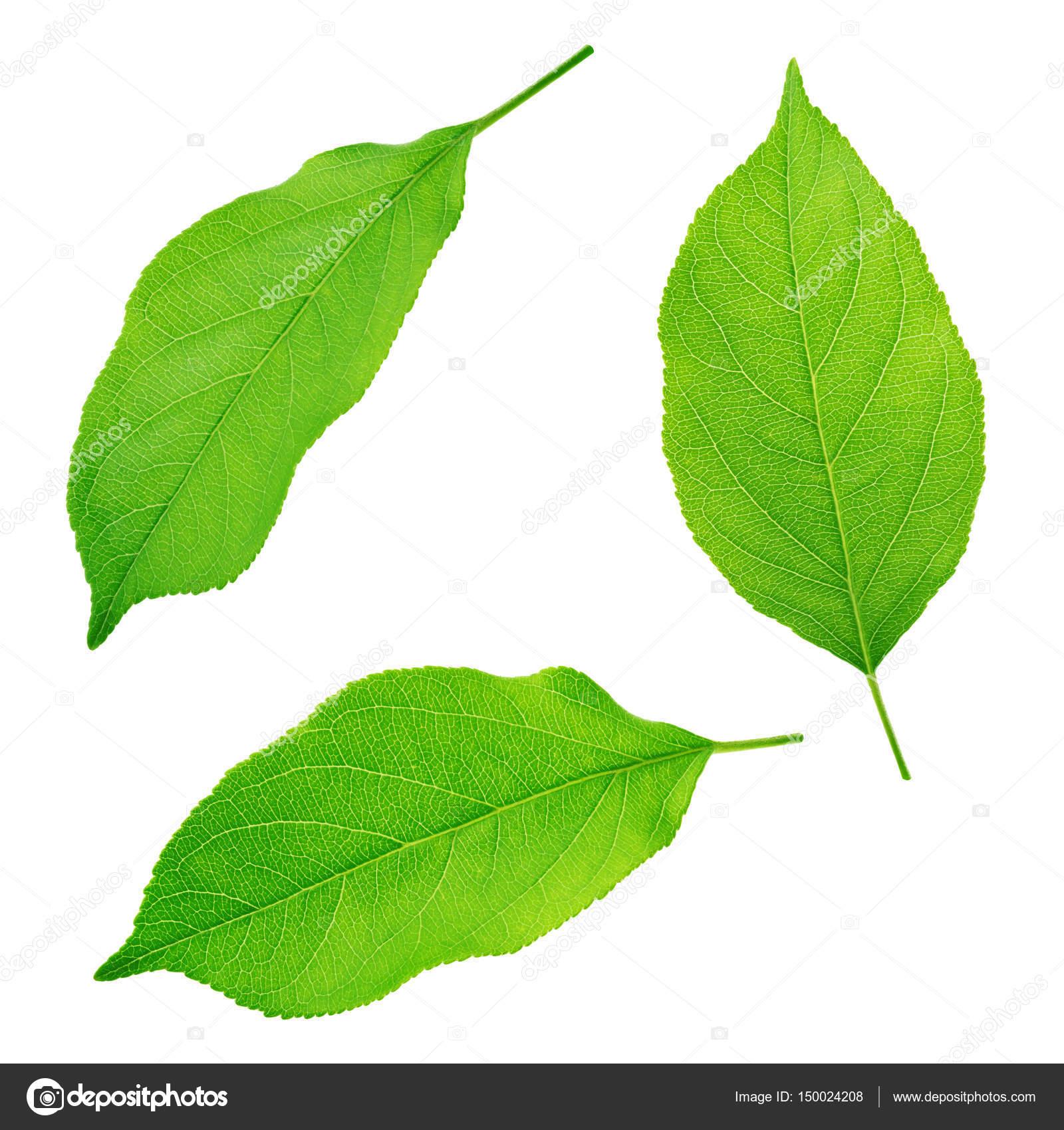 Satz Apfelbaumblätter isoliert auf einem weißen