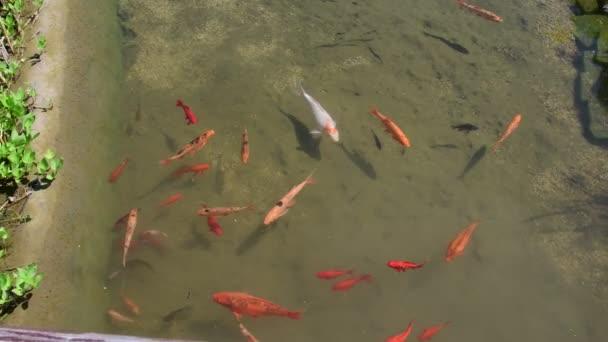 Karpers In Tuin : Koi karpers koi vissen in het stuk van water. tuin meertje met koi