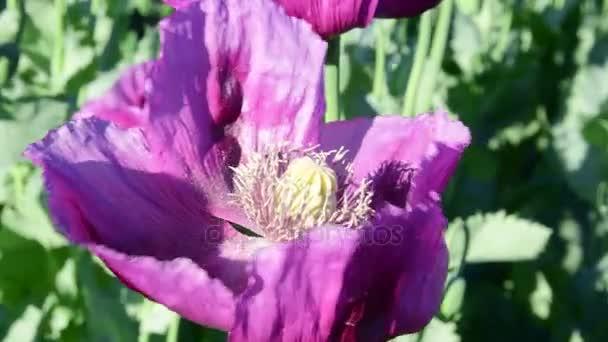 Pohled na makovém poli. Violet makové pole. Pohyblivé mák ve větru. Closeup