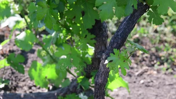 Bush vine. Closeup. Green vineyard. Young grape wine