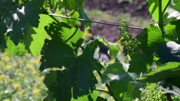 Bush vine. Green vineyard. Young grape wine. Closeup