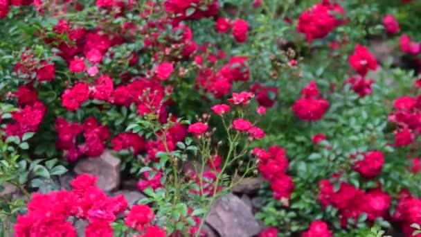 Panorámica vista de rosas en el jardín de rocas. Rocalla con rosas