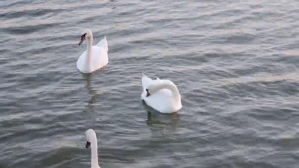 Labutě plovoucí. Labutí píseň. Bílé labutě