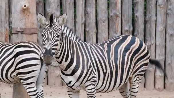 Chapmans Zebra. Geographic tartomány: eső erdők, sivatagok, és észak-keleti Dél-Afrikából, Észak, Zimbabwe, Botswana, a szeszély a west dűne erdők Afrikában minden élőhelyek