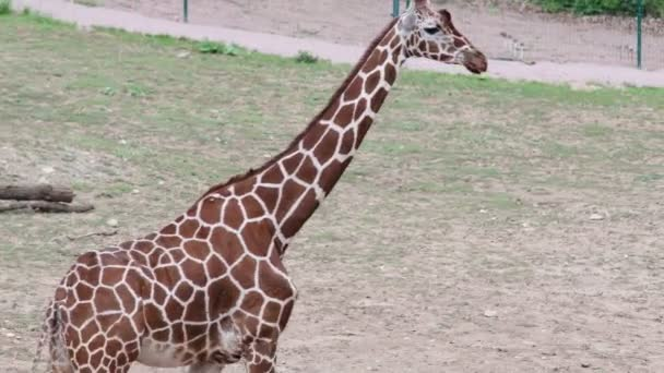 Reticulated Giraffe. Geographic Range: arid and dry-savannah zones of sub-Saharan Africa.