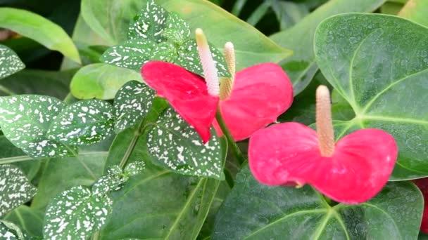 Anthurium Pflanzen. Rote Anthurium Blumen im Botanischen Garten ...