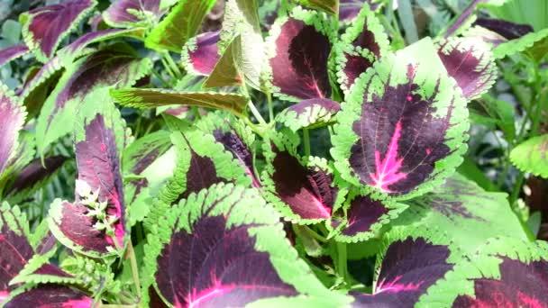 Blätter der Koleus-Pflanze. Grüner Hintergrund. 4k.