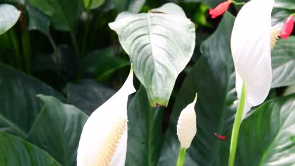fleur d anthurium dans la p pini re anthurium andraeanum fleurs d anthurium blanc au jardin. Black Bedroom Furniture Sets. Home Design Ideas