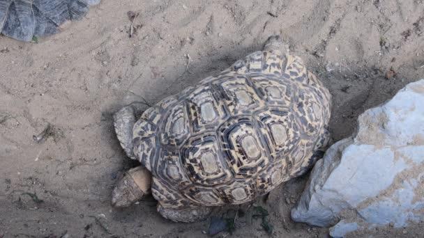 Hermanns teknős (Testudo hermanni). Testudo hermanni is megtalálhatók az egész Dél-Európa.