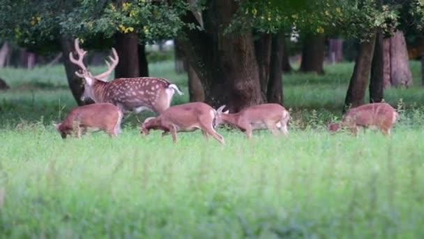 Jelen, jelen jelen a mufloni. Skupině muflon Ovis orientalis orientalis je poddruh skupina divokých ovcí. Jeleni jsou přežvýkavců savci tvoří čeledi Cervidae
