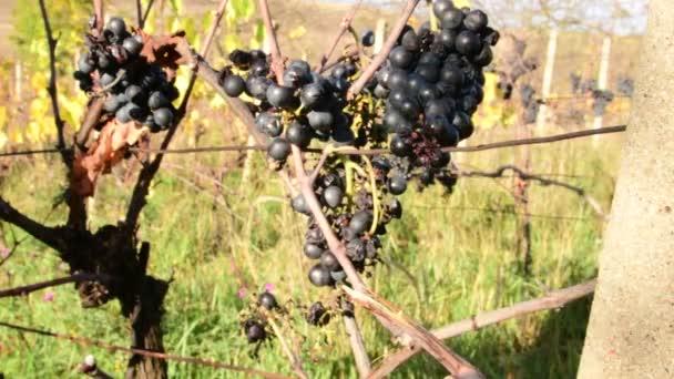 Hroznů révy v ruce. Vinaře kontroluje hroznů révy. Vinné hrozny na ledové víno