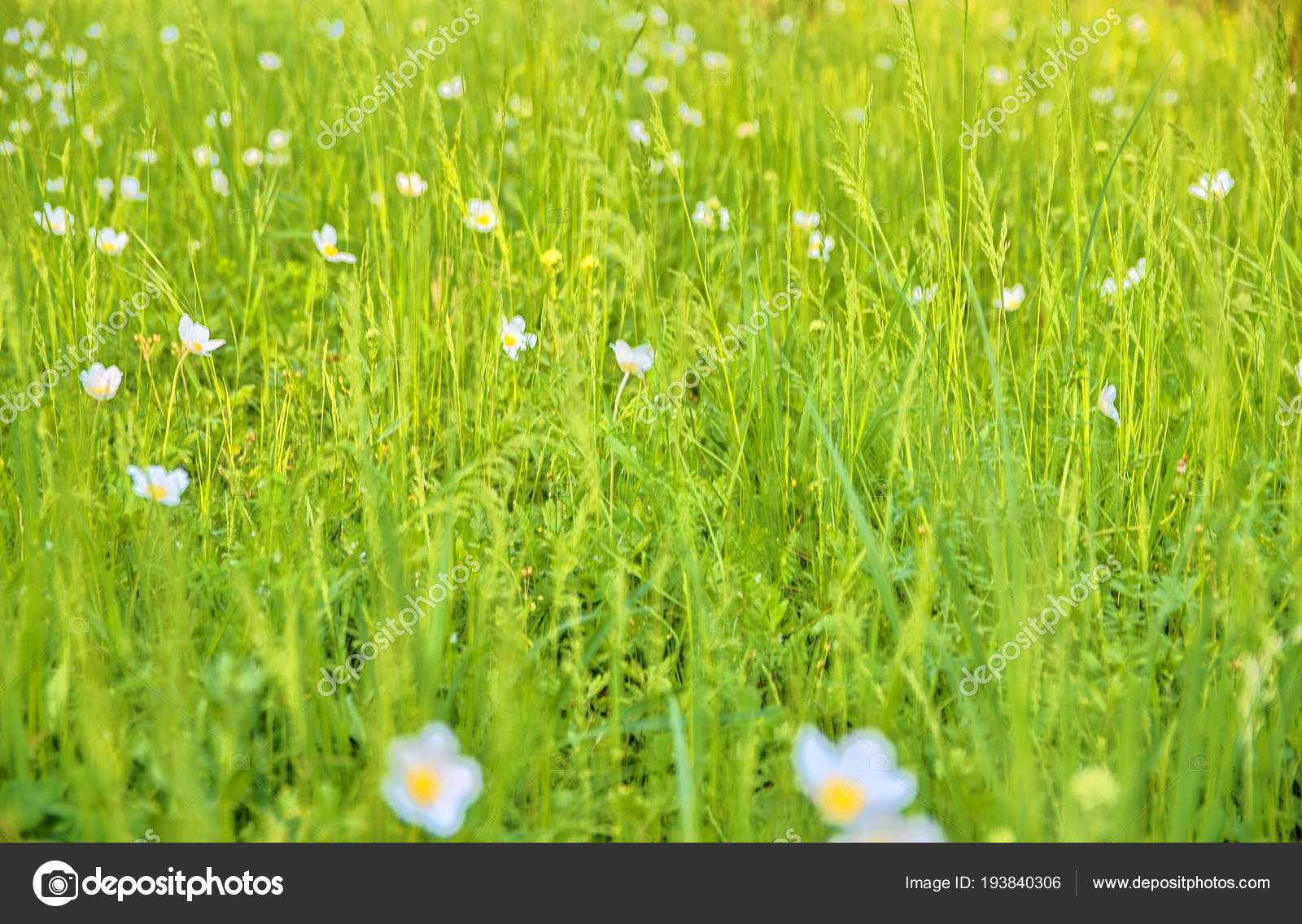 Beautiful spring green meadow with white blooms of flowers spring beautiful spring green meadow with white blooms of flowers spring backgrounds and concept stock izmirmasajfo