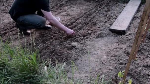 Anbau von Erbsen. Gärtner Pflanzen grüne Erbsen. Junge Erbsen in der Hand des Bauern