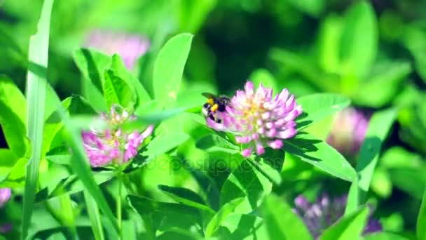 Bumble bee pollinating a pink clover flower