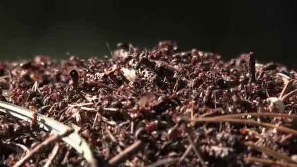 mraveniště a mravenci, mravenci se hrnuli pařez a žijí v dutině