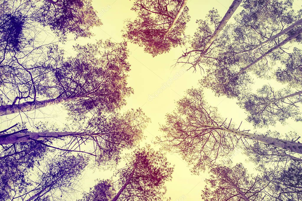 Crown of pines on blue sky background. Retro style.