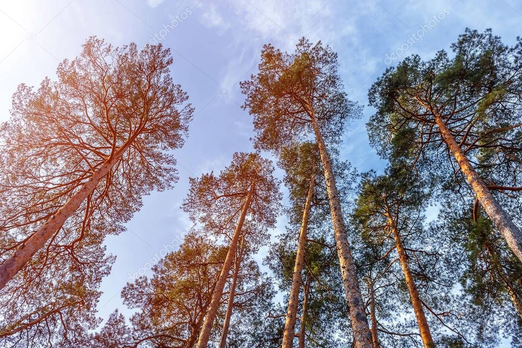 Crown of pines on blue sky background