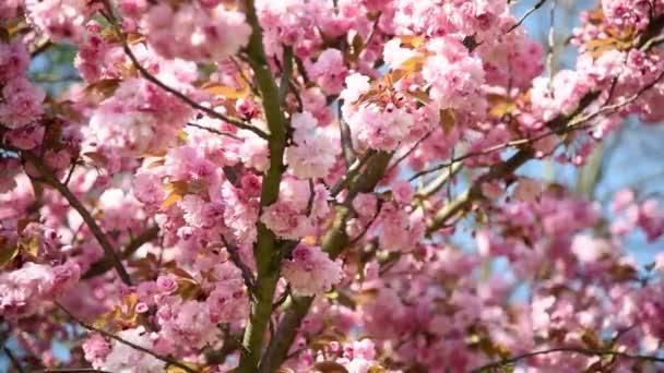 Detailní záběr růžového sakura květu s listy na větvi, třešňový květ