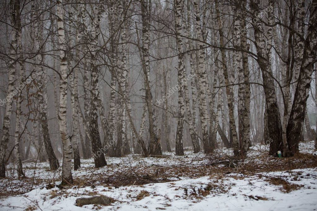 Birch trees without leaves in winter misty forest in the mountains of the Caucasus