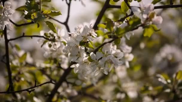 Gyümölcs fák kajszibarack, cseresznye, szilva, imbolygott a szélben a kertben a tavasszal virágzó ága