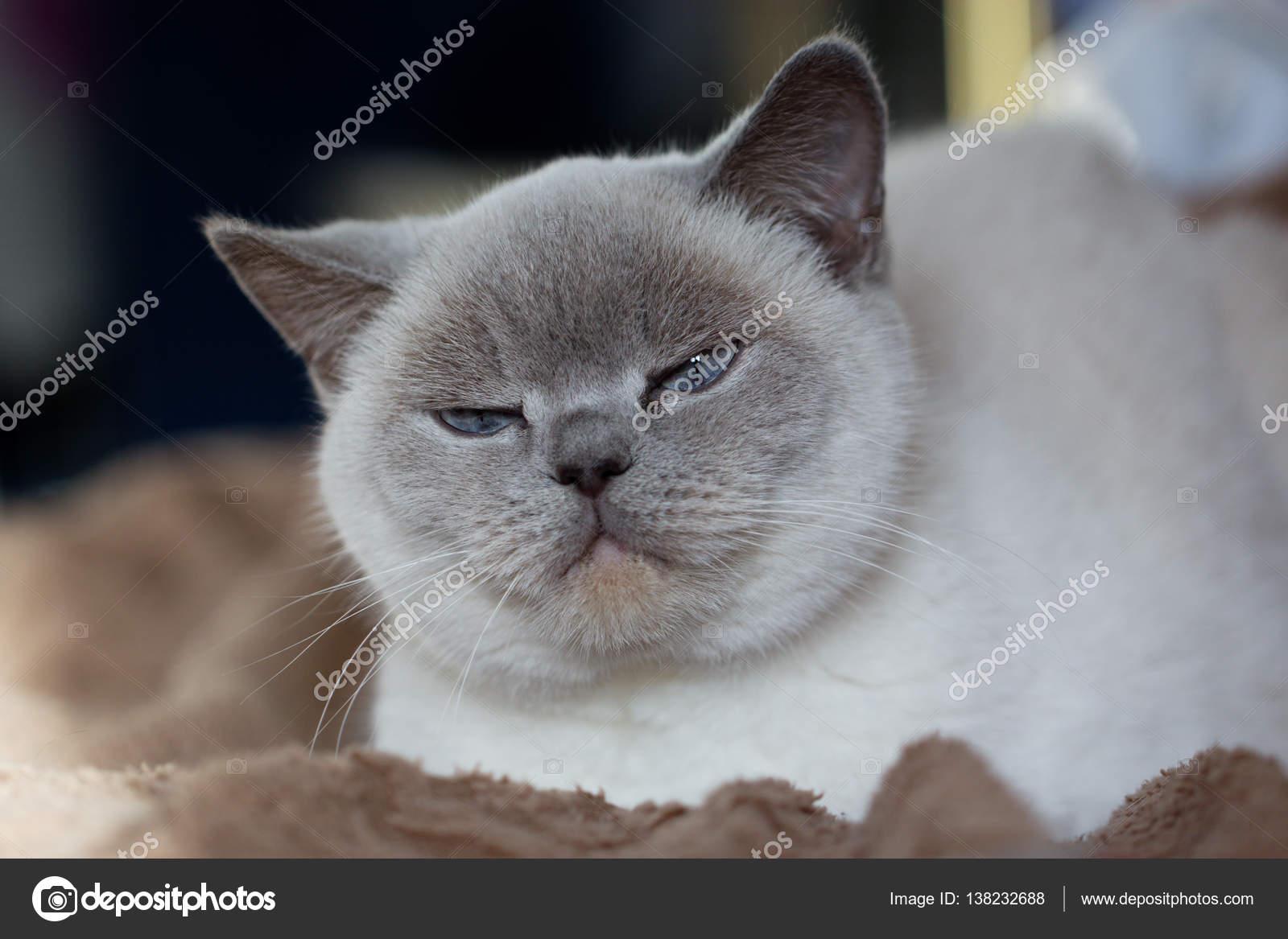 Brytyjski Kot Biały Z Niebieskimi Oczami Zdjęcie Stockowe