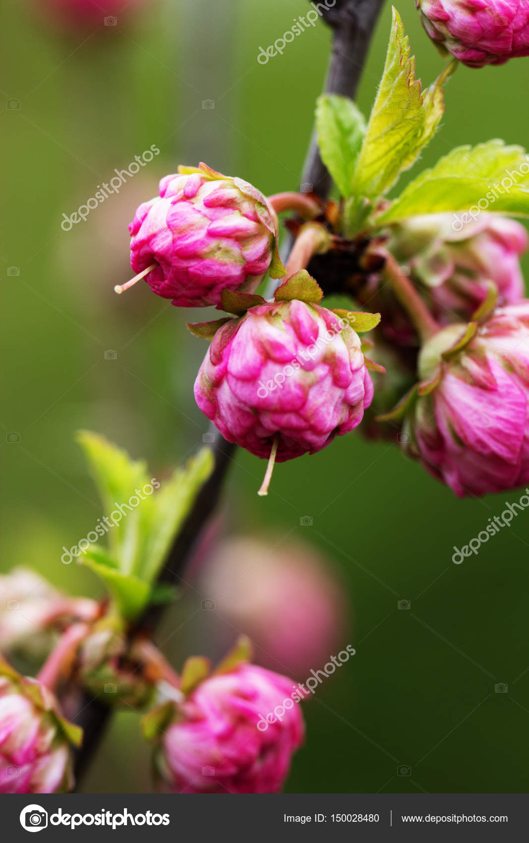 Branch With Little Pink Flowers Twig Shrub With Small Pink Flowe