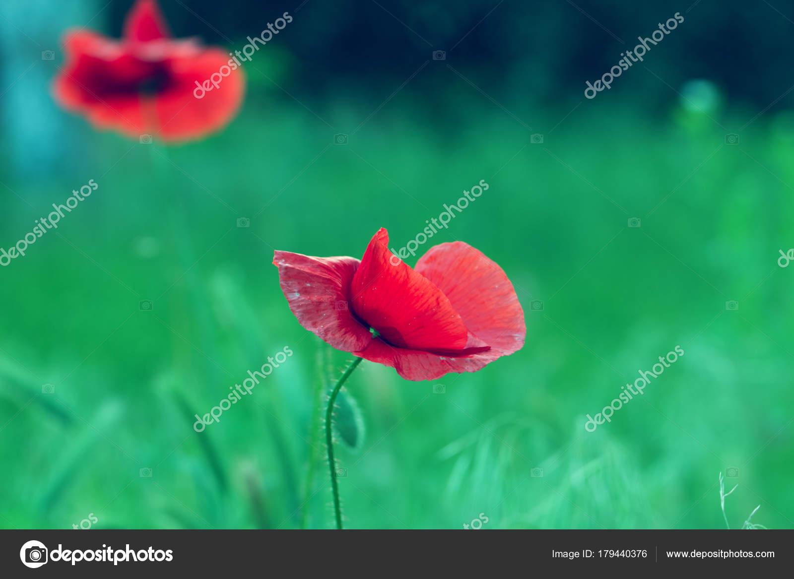 Red Poppy On Green Weeds Field Poppy Flowersose Up Poppy Hea