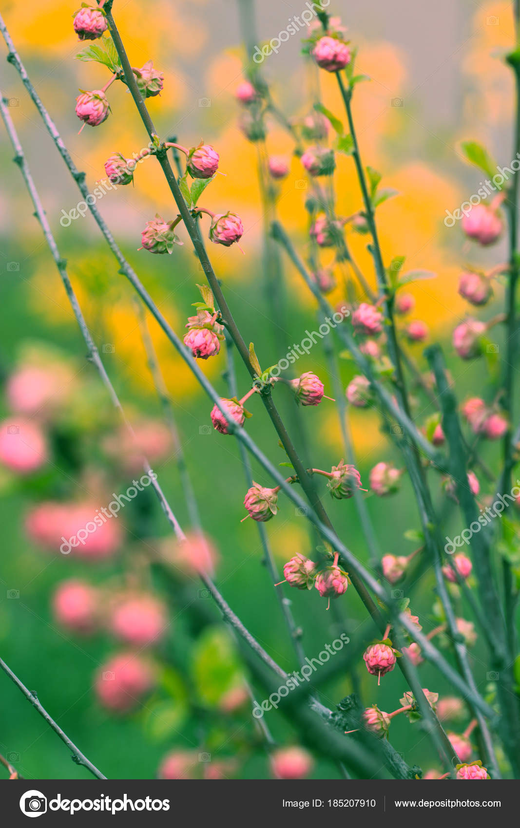 Branch with little pink flowers twig shrub with small pink flowe branch with little pink flowers twig shrub with small pink flowe stock photo mightylinksfo