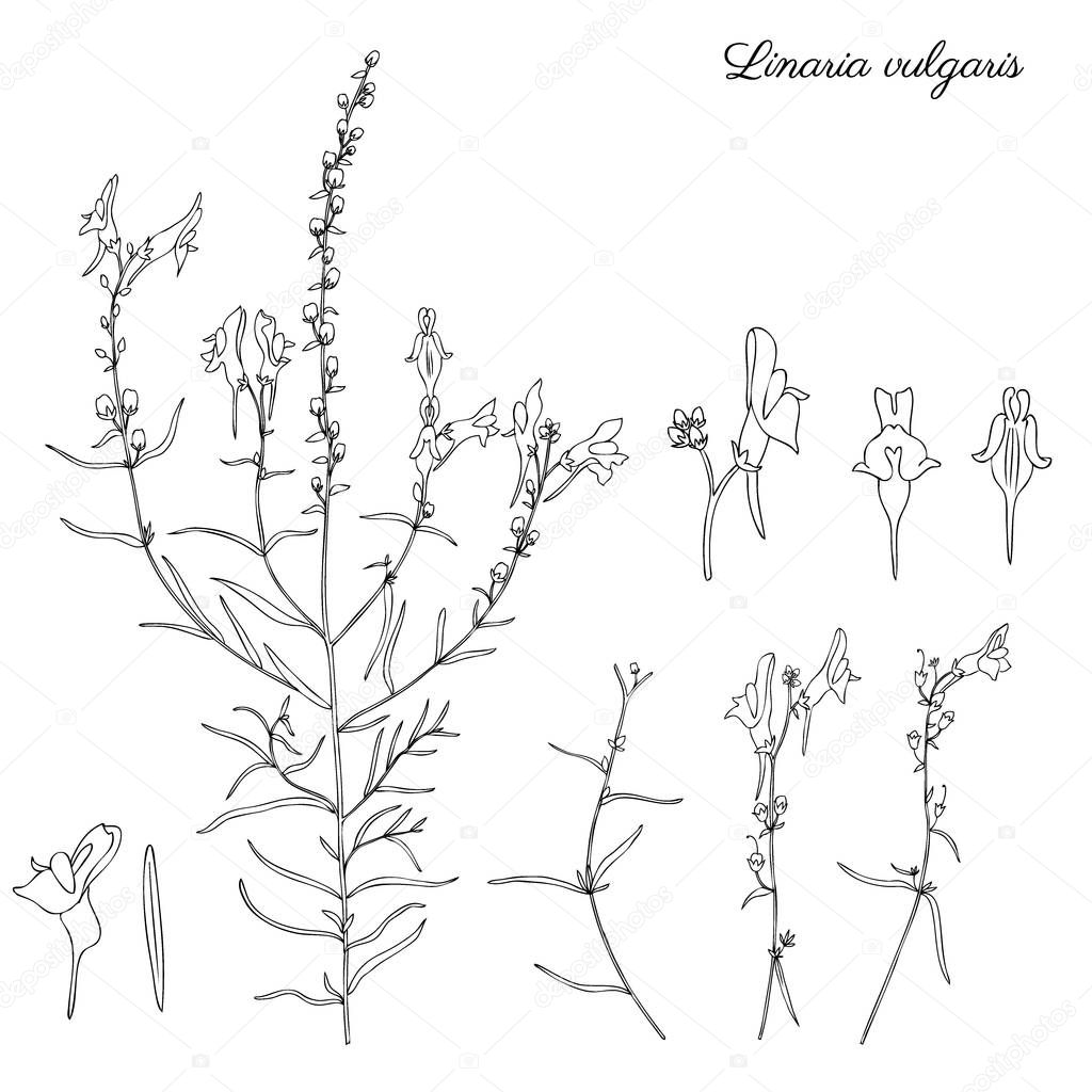 Linaria vulgaris, common toadflax, yellow toadflax or butter-and-eggs is a species of toadflax, snapdragon, Plantaginaceae family, hand drawn vector botanical illustration, doodle ink sketch isolated