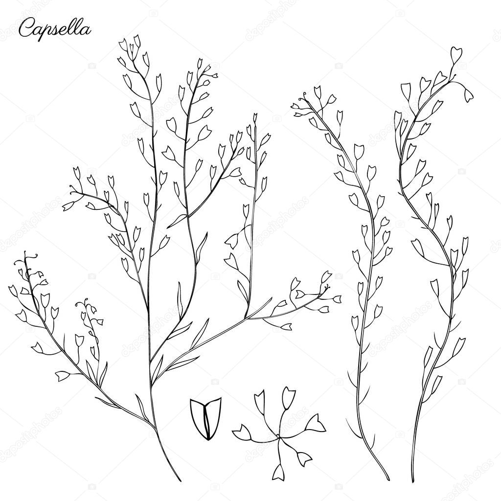 Capsella flowers, Shepherds purse, Capsella bursa-pastoris, the entire plant, hand drawn graphic vector botanical illustration, doodle ink sketch isolated on white, contour style for design cosmetic