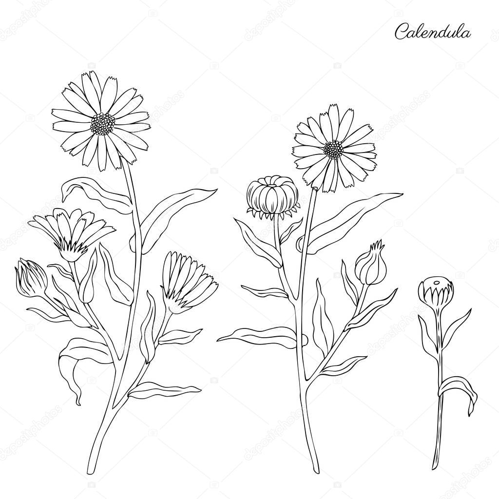 Calendula flower isolated on white background, botanical hand drawn doodle sketch marigold, vector illustration for design package tea, cosmetic, natural medicine, greeting cards, wedding invitation