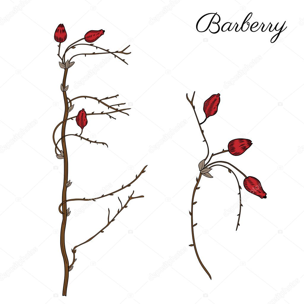 Barberry hand drawn branch vector colorful sketch isolated on white background, line art berry, Natural spicy herbs, graphic doodle cooking ingredient for design package tea, cosmetic, medicine, card