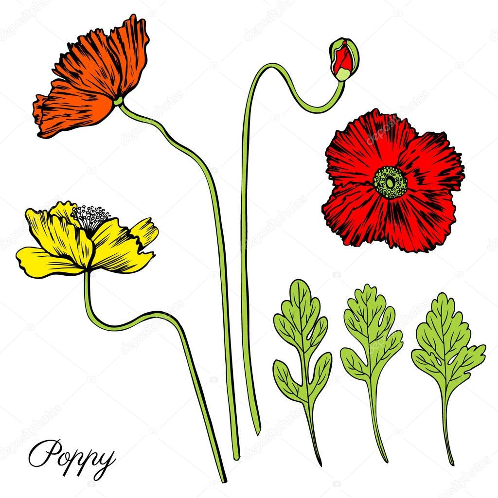 Poppy flower, bud, leaves vector engraving sketch hand drawn isolated on white, vintage romantic style for greeting card, package cosmetic, page magazines, web sites, wedding invitations, florist shop