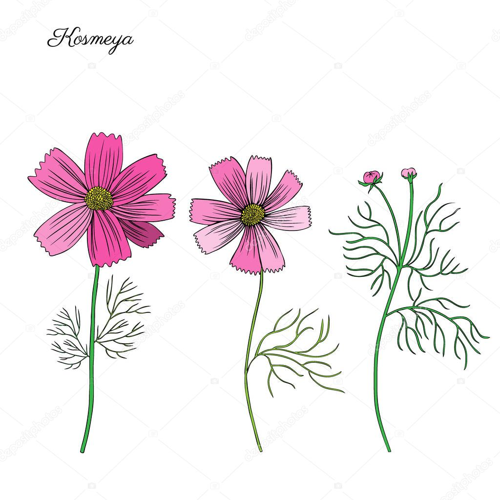 Kosmos flower, kosmeya hand drawn doodle ink sketch, colorful il